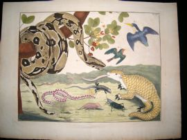 Albertus Seba C1750 LG Folio Hand Coloured Print. Snake, Bird, Armadillo etc 53